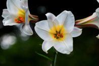 Lilien und Liliengewächse