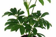 Strahlenaralie (Schefflera)